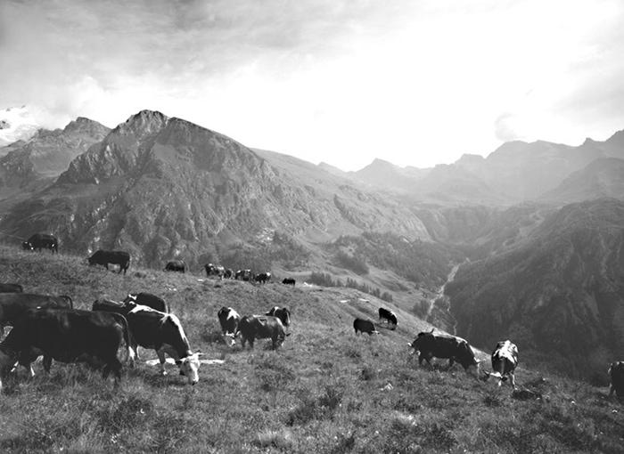 Alp Cows 8
