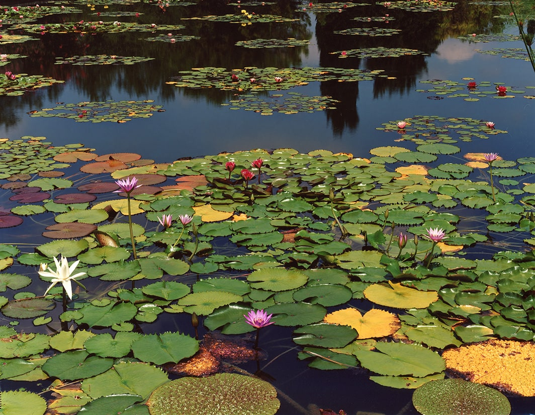 Untitled Water Lily (Veneto IV), 2015 - Lawrence Beck