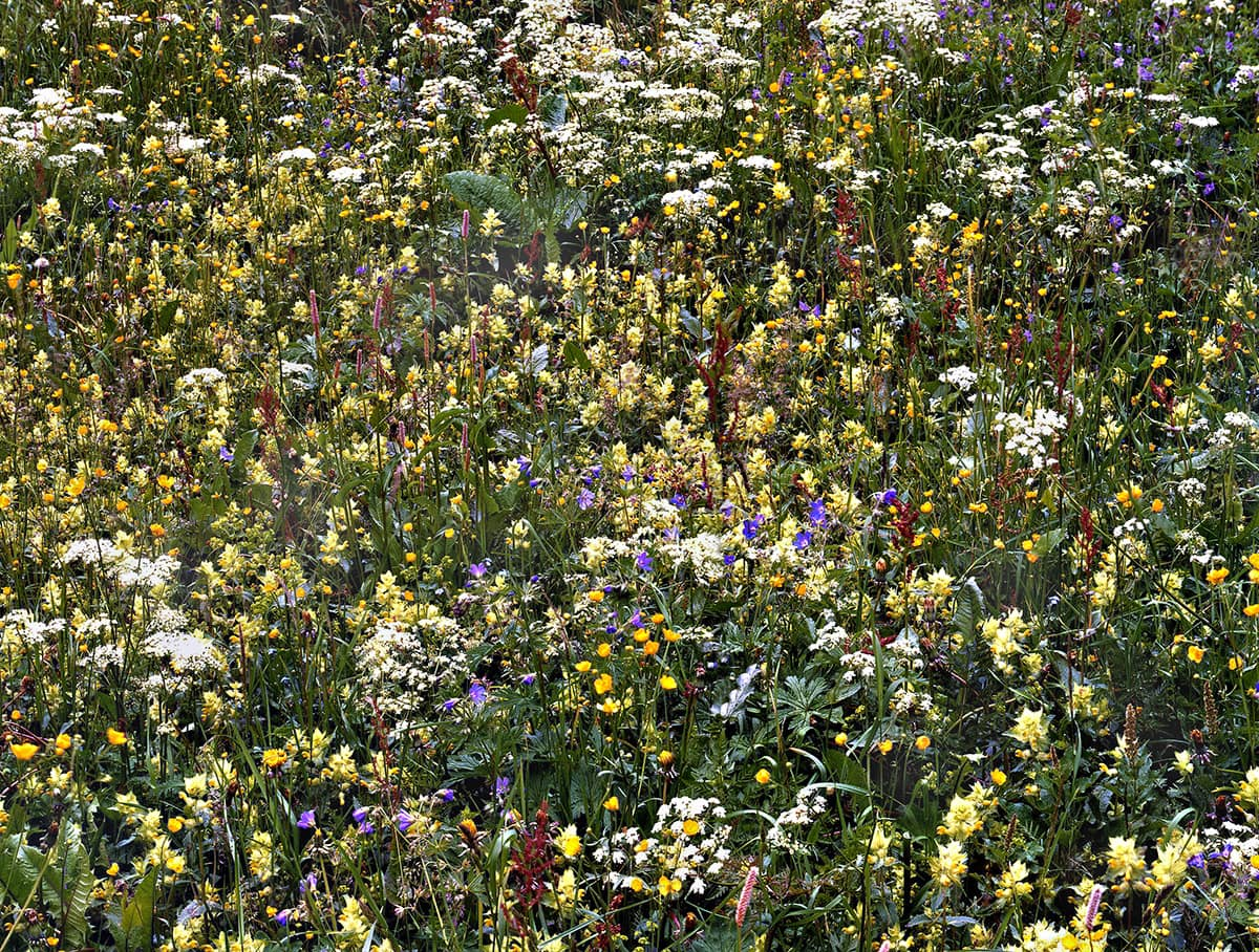 Alpine Wildflowers 14